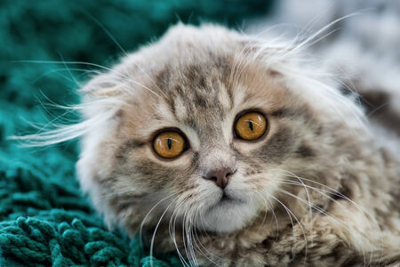 grey eyed: Animals: Scottish Fold kitten, looking at camera, close-up shot, blurred background Stock Photo