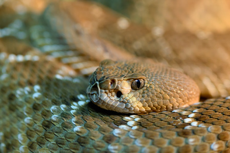 Animals: red diamond rattlesnake, Crotalus ruber, close-up head shot, selective focus, shallow depth of field