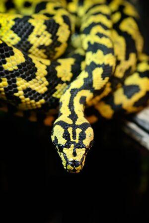 serpents: Animals: jungle carpet python, Morelia spilota cheynei, on a tree branch, close-up shot Stock Photo