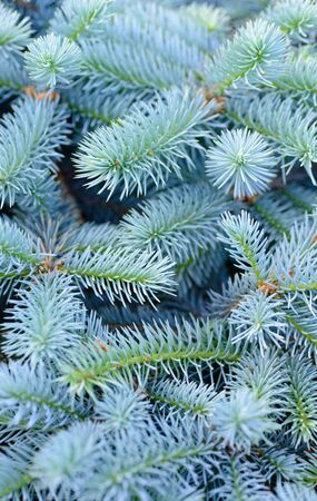 solid blue background: Backgrounds and textures: solid mix of blue fir tree branches, natural seasonal background
