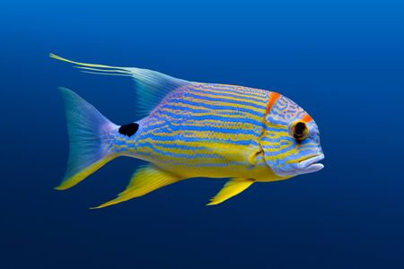sailfin: Sea life: exotic tropical coral reef  fish, sailfin snapper (Symphorichthys spilurus) on natural blue background