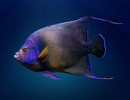 pomacanthus: Sea life: adult Koran angelfish, or semicircle angelfish (Pomacanthus semicirculatus), on natural blue background