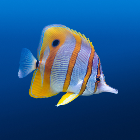 chelmon: Sea life: exotic tropical coral reef copperband butterfly fish (Chelmon rostratus) on natural blue background Stock Photo