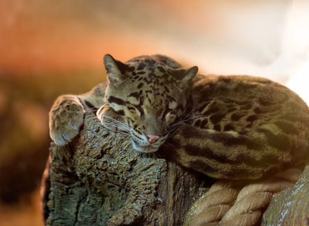 clouded: Animals: young clouded leopard (Neofelis nebulosa) having a rest