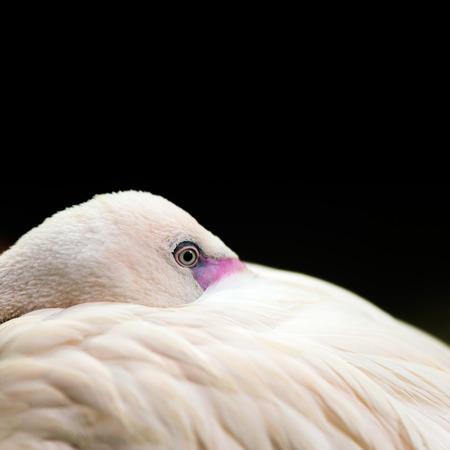 lesser: Birds: lesser flamingo, traditional close-up portrait on dark background Stock Photo