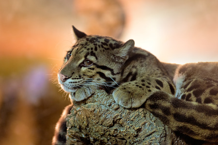 Animals: young clouded leopard (Neofelis nebulosa) having a rest