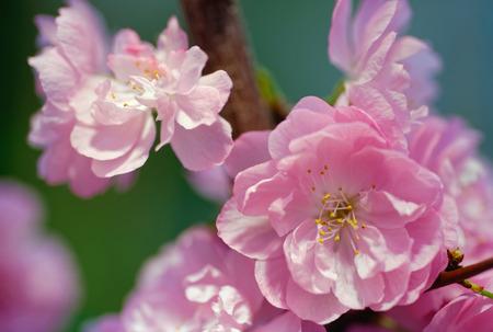 Flowers: flowering almond, or flowering plum (Prunus triloba), on natural blurred background
