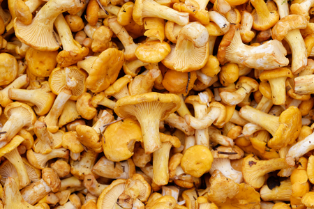 girolle: Backgrounds and textures: a lot of fresh raw girolles, yellow forest mushrooms Stock Photo
