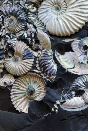 Backgrounds and textures: remains of fossilized seashells in a black stone, abstract natural background