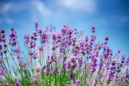 Beautiful close up of a field of lavender flowers with the blue sky.