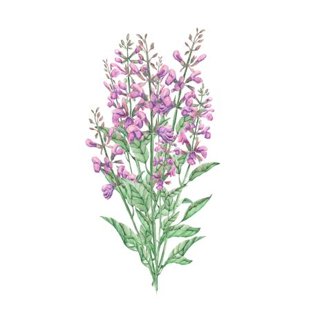 salvia: Bouquet of salvia painted with watercolors on white background
