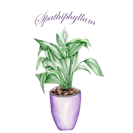 abloom: Spathiphyllum in a purple pot painted in watercolor on a white background Stock Photo