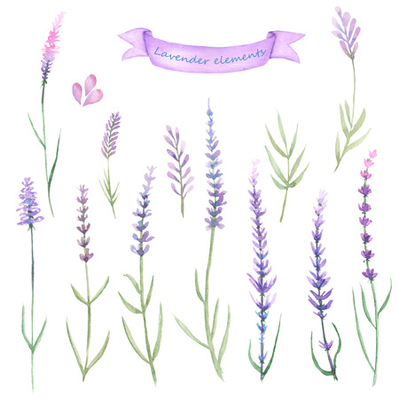 Set, collection of floral lavender elements painted in watercolor on a white background
