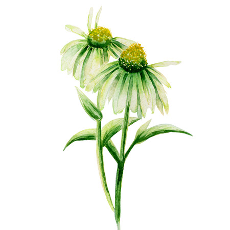 camomiles: Isolated two green camomiles painted in watercolor on a white background Stock Photo