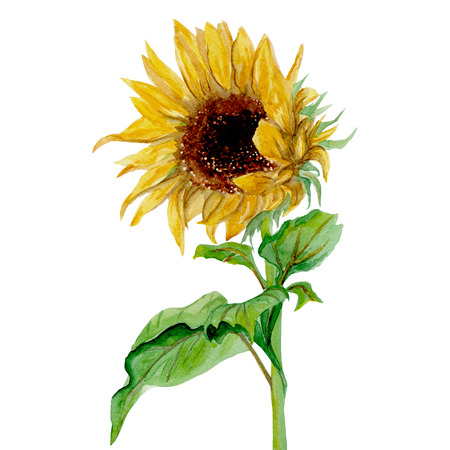 sunflowers field: Isolated yellow sunflower painted in watercolor on a white background
