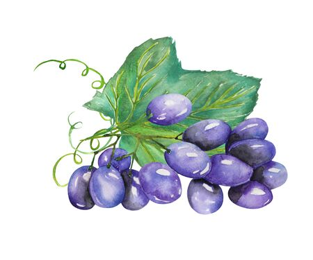 tincture: Image of the isolated watercolor bunch of blue grapes. Painted hand-drawn in a watercolor on a white background.