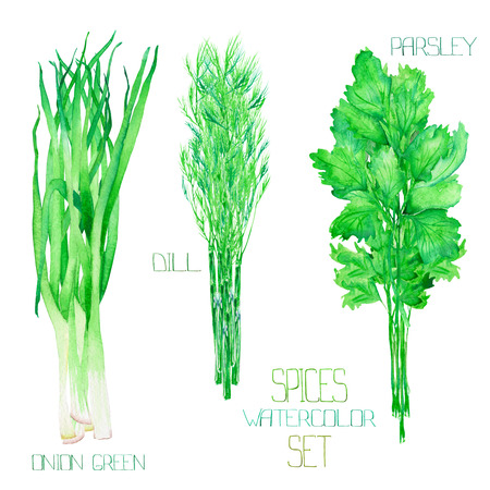 bundles: A set with the isolated watercolor spices (spicy herbs): bundles of the onion green, dill, parsley, cilantro, painted on a white background