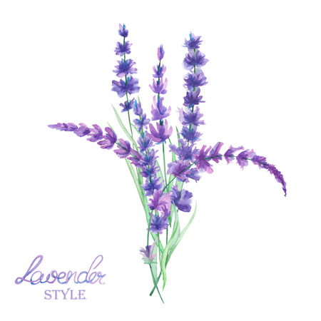 green purple: An illustration with a bouquet of the beautiful watercolor lavender branches, isolated hand-drawn in a watercolor on a white background