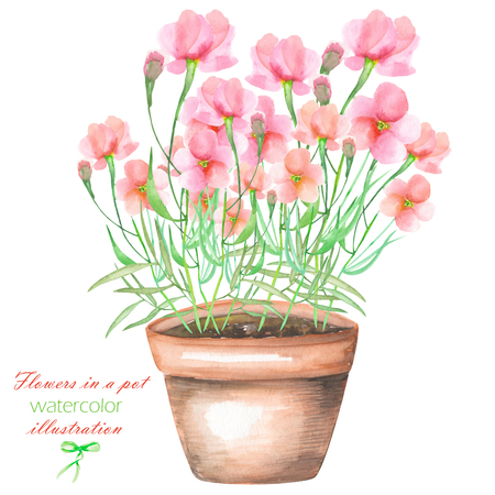 florescence: An illustration with the pink flowers in a pot, isolated hand drawn in a watercolor on a white background