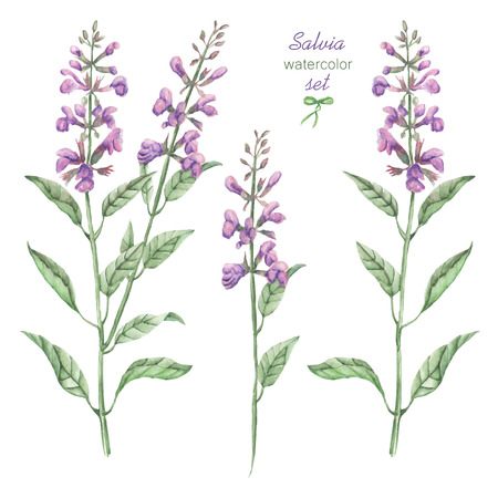 A floral set with the isolated watercolor medicinal salvia flowers, hand drawn on a white background, for self-compilation of the bouquets and ornaments Stock Photo