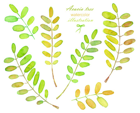 locust: Collection of illustrations of watercolor acacia tree branches, hand drawn isolated on a white background