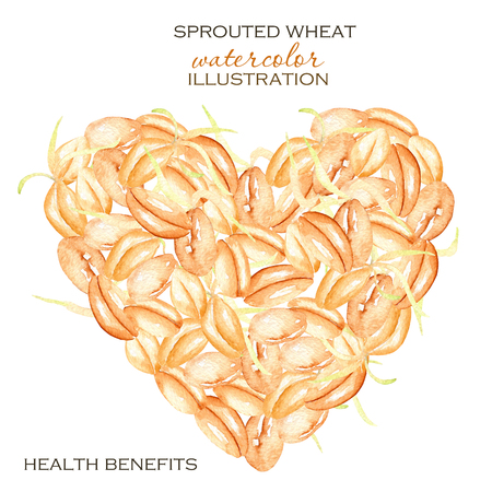 Illustration with sprouted wheat grains hand drawn in watercolor on a white background