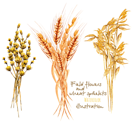 Illustration with sheaf of wheat ears and dryflowers, hand drawn in watercolor on a white background