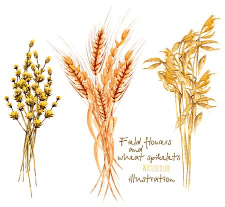 Ilustracja z snopkiem pszeniczni ucho i dryflowers, ręka rysująca w akwareli na białym tle