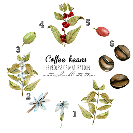Scheme in watercolor of process of coffee beans maturation, hand painted isolated on a white background