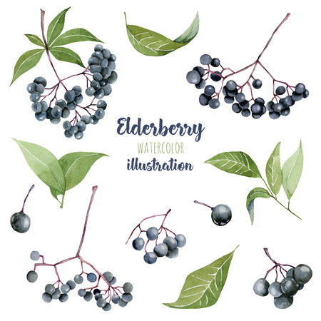 Watercolor eldeberries illustration collection, hand painted isolated on a white background