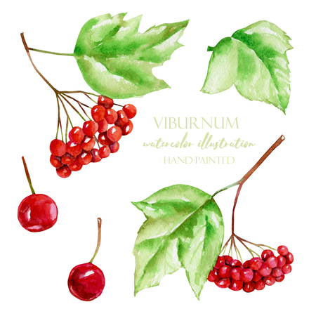 Watercolor viburnum berries illustration collection, hand painted isolated on a white background