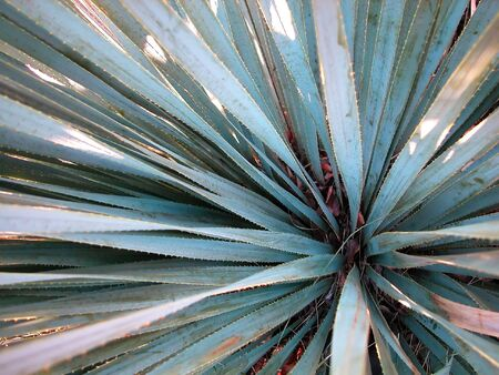 Close up shot of a variety of the blue agave plant