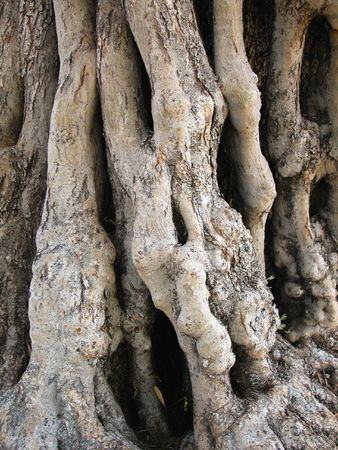 gnarled: Ancient Olive Tree with Gnarled Trunk Stock Photo