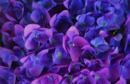hydrangea flower: Hydrangea Flower-Filled Stock Photo