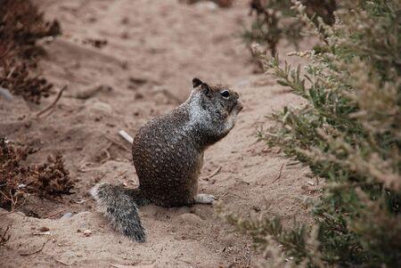 varmint: Brown Squirrel on Path