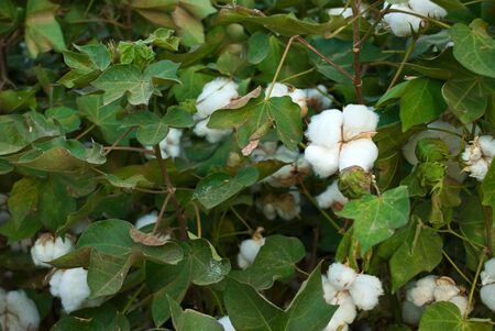 A Pima cotton plant with white tuffs as blooms fills the frame