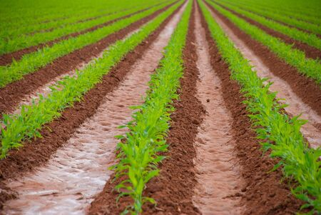 furrows: Freshly watered field with new corn plants