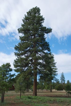 A single ponderosa pine tree stands tall against a blue sky with white clouds Banco de Imagens