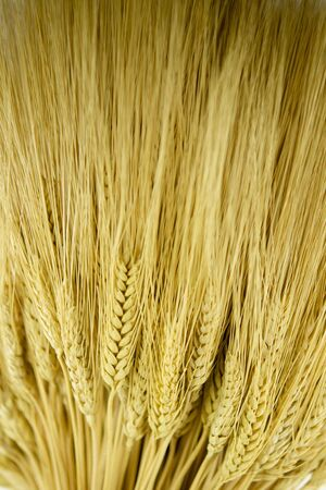 Close up of a stalk of golden wheat