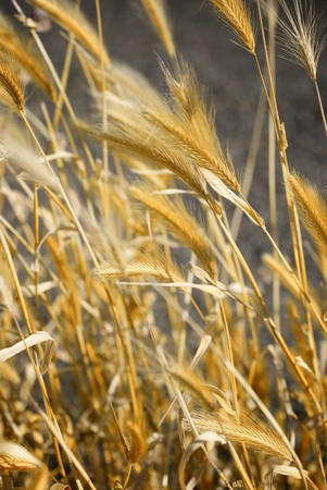 Golden stalks of wheat bent over by the blowing wind Stok Fotoğraf