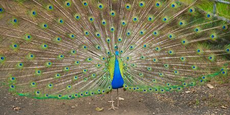 A vibrant blue peacock strutting with its feathers spread