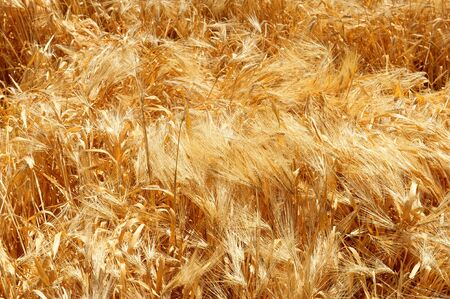 A shot of swirling stalks of wheat