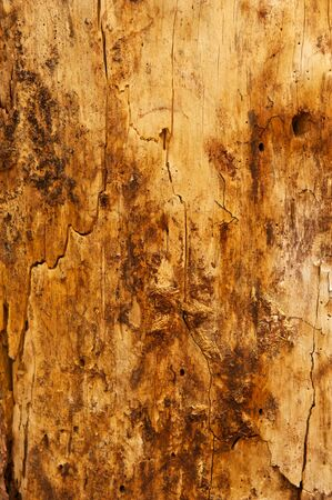 ponderosa: A dirty Ponderosa Pine tree stripped of its bark with cracks on its surface