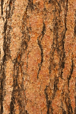 ponderosa: A background of very rough Ponderosa Pine bark in a vertical orientation