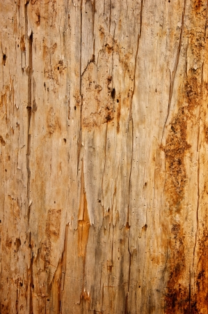 stripped: A Ponderosa Pine tree stripped of its bark Stock Photo
