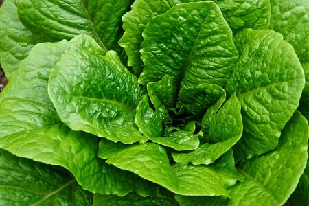 planted: A green and leafy head of romaine lettuce still planted in a garden