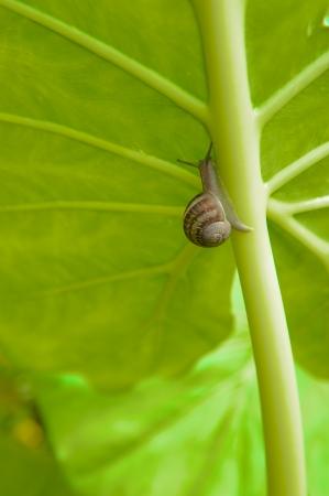 slimy: Slimy snails climbing up the main stalk of an Elephant Ear leaf