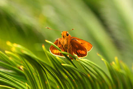feeler: A small orange butterfly is seating on the palm leaves in Roma Street Parklands, Brisbane, Australia. Stock Photo