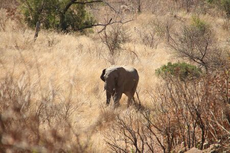 lonesome bull at Pilanesberg