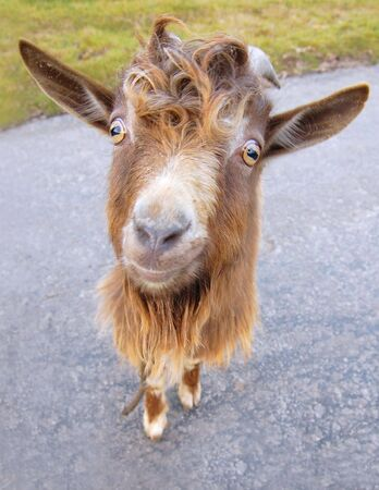 billy: Funny little red billy goat in a road Stock Photo